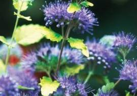 CARYOPTERIS INCANA SUNSHINE BLUE ('JASON')