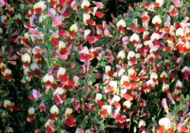 CYTISUS 'PALETTE'