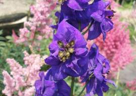 DELPHINIUM'BLACK KNIGHT'