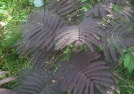 ALBIZIA 'SUMMER CHOCOLATE'