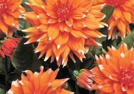 1 x Dahlia 'Color spectacle'