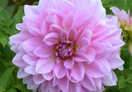1 x  Dahlia 'Lavender perfection'