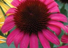ECHINACEA PURPUREA 'AFTER MIDNIGHT'*