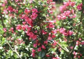 ESCALLONIA 'DONARD SEEDLING'