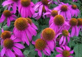 ECHINACEA KIM'S KNEE HIGH