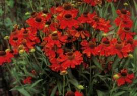 HELENIUM 'MOERHEIM BEAUTY'*