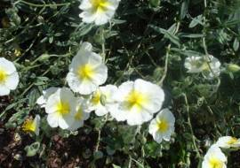 HELIANTHEMUM 'THE BRIDE' (=SNOW QUEEN)