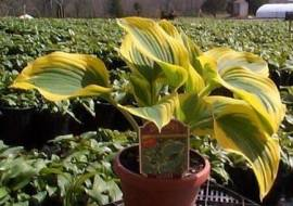 HOSTA 'CLIFFORDS FOREST FIRE'*