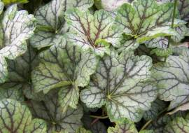HEUCHERA 'BEAUTY COLOUR'