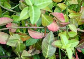 EUONYMUS FORTUNEI 'COLORATUS'