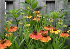 HELENIUM 'SAHIN'S EARLY FLOWERER'*