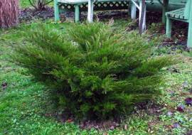 JUNIPERUS PFITZERIANA 'MINT JULEP'