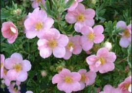POTENTILLA FRUTICOSA LOVELY PINK (= 'PINK BEAUTY')