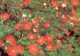POTENTILLA FRUTICOSA MARIAN RED ROBIN (= 'MARROB')