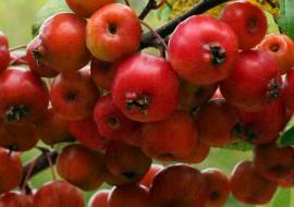 MALUS PERPETU ('EVERESTE')