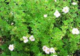 POTENTILLA FRUTICOSA PRINCESS (= 'PINK QUEEN')
