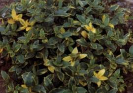 VINCA MINOR 'AUREOVARIEGATA'*