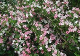 WEIGELA CARNAVAL ('COURTALOR')