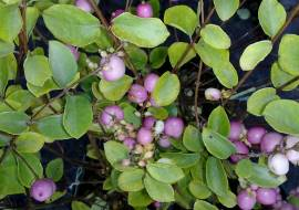 SYMPHORICARPOS DOORENBOS 'MOTHER OF PEARL'