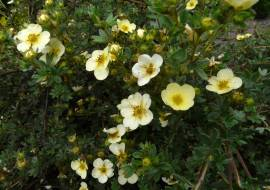 POTENTILLA FRUTICOSA 'PRIMROSE BEAUTY'