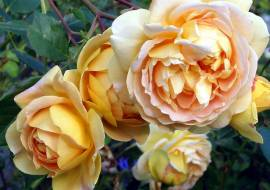 ROSA GOLDEN CELEBRATION