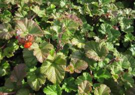 RUBUS 'BETTY ASHBURNER'