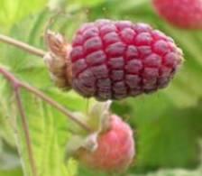 Fruitgewassen