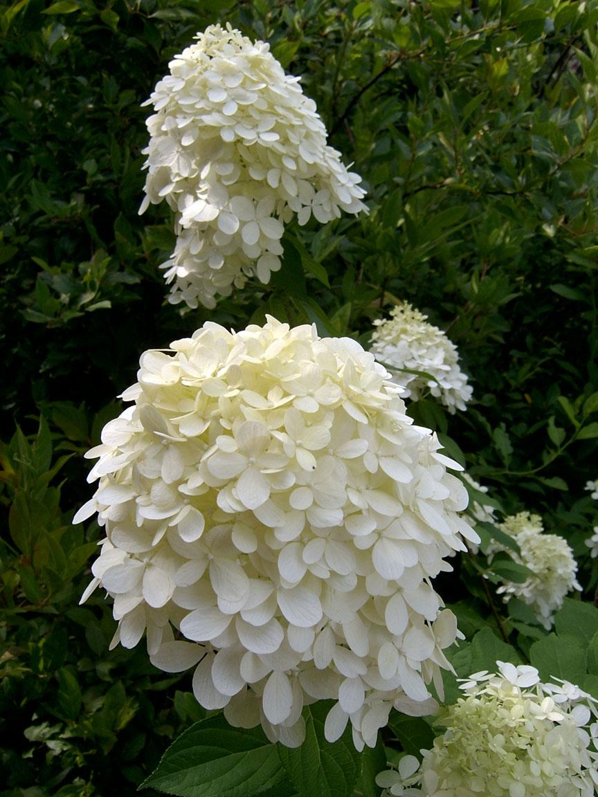 hydrangea paniculata 39 limelight 39 hortensia. Black Bedroom Furniture Sets. Home Design Ideas