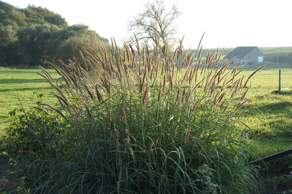 Pennisetum incomptum lampepoetser for Tall ornamental grasses for screening